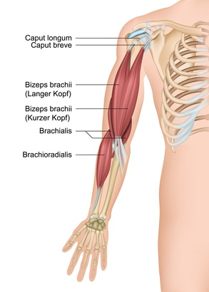 musculus biceps brachii  bizeps  funktion  aufbau Labeled Muscles of the Arm Lower Arm Muscle Diagram