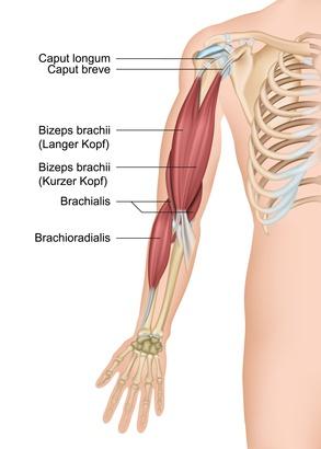 Musculus biceps brachii (Bizeps) – Funktion, Aufbau & Beschwerden ...