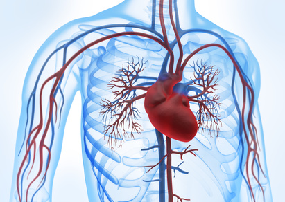 Herz-Kreislauf-System – Funktion, Aufbau & Beschwerden | Gesundpedia.de