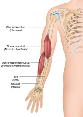 Arm – Funktion, Aufbau & Beschwerden | Gesundpedia.de