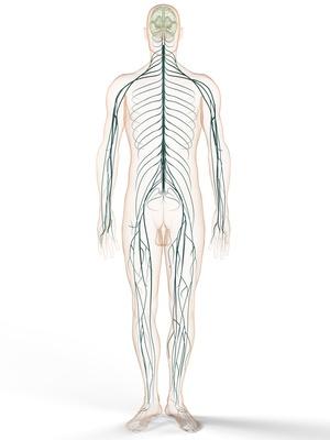Peripheres Nervensystem (PNS) – Funktion, Aufbau & Beschwerden ...