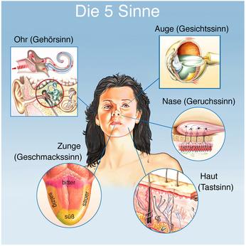 nervensystem schnecke funktion