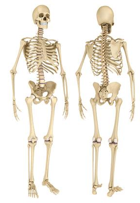 Skelett: Funktion, Therapie, Diagnose, Behandlung, Anatomie