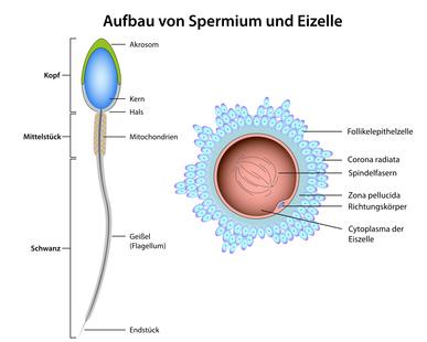 wie entstehen spermien