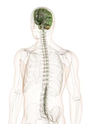 Zentrales Nervensystem (ZNS) – Funktion, Aufbau & Beschwerden ...