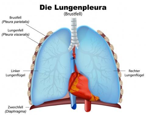 Brustfell (Pleura): Funktion, Therapie, Diagnose, Behandlung, Anatomie