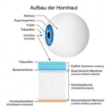 Hornhaut (Auge): Funktion, Therapie, Diagnose, Behandlung, Anatomie