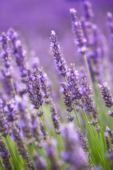 Lavendel - Naturheilmittel, Hausrezepte, Hausmittel, Natürlich ...