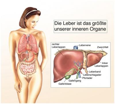 Vergrößerte Leber – Ursachen, Beschwerden & Therapie | Gesundpedia.de