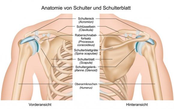 Schulterblatt: Funktion, Therapie, Diagnose, Behandlung, Anatomie