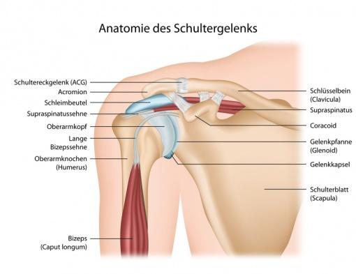 Schultergürtel – Funktion, Aufbau & Beschwerden | Gesundpedia.de
