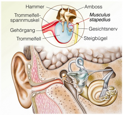Trommelfell: Funktion, Therapie, Diagnose, Behandlung, Anatomie